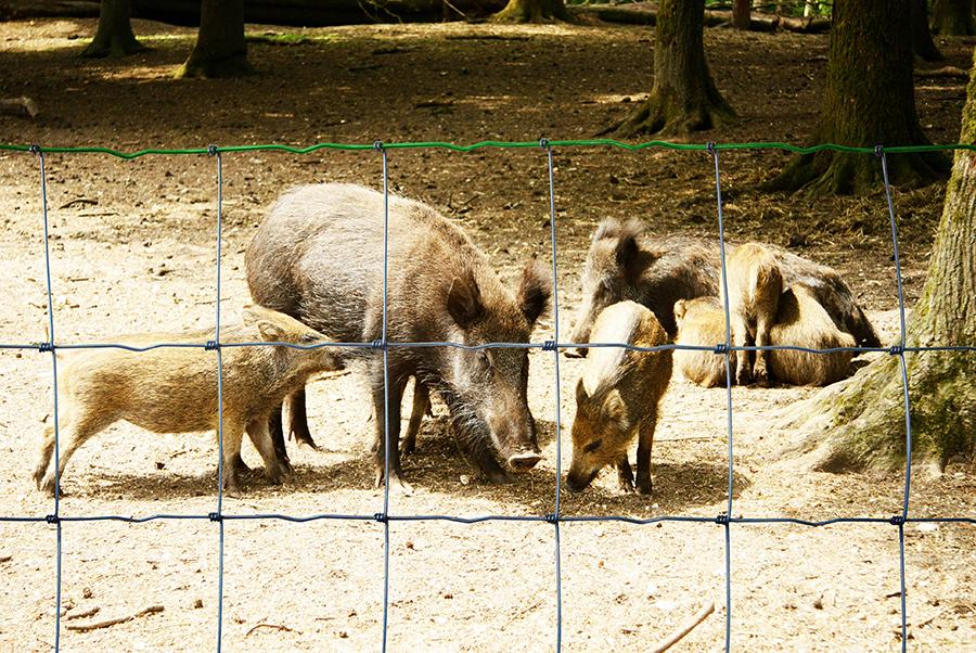 Malla anudada Agrotor Premium y familia de jabalís en el bosque